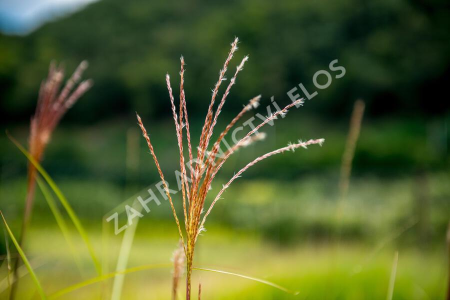 Ozdobnice čínská 'Malepartus' - Miscanthus sinensis 'Malepartus'
