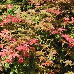 Javor dlanitolistý 'Corallinum' - Acer palmatum 'Corallinum'