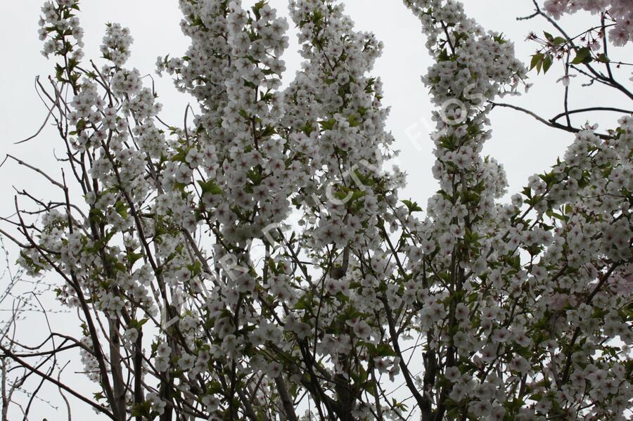 Slivoň vyříznutá 'Umineko' - Prunus incisa 'Umineko'