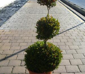 Zimostráz obecný 'Faulkner' - 3 koule - Buxus microphylla 'Faulkner' - 3 koule