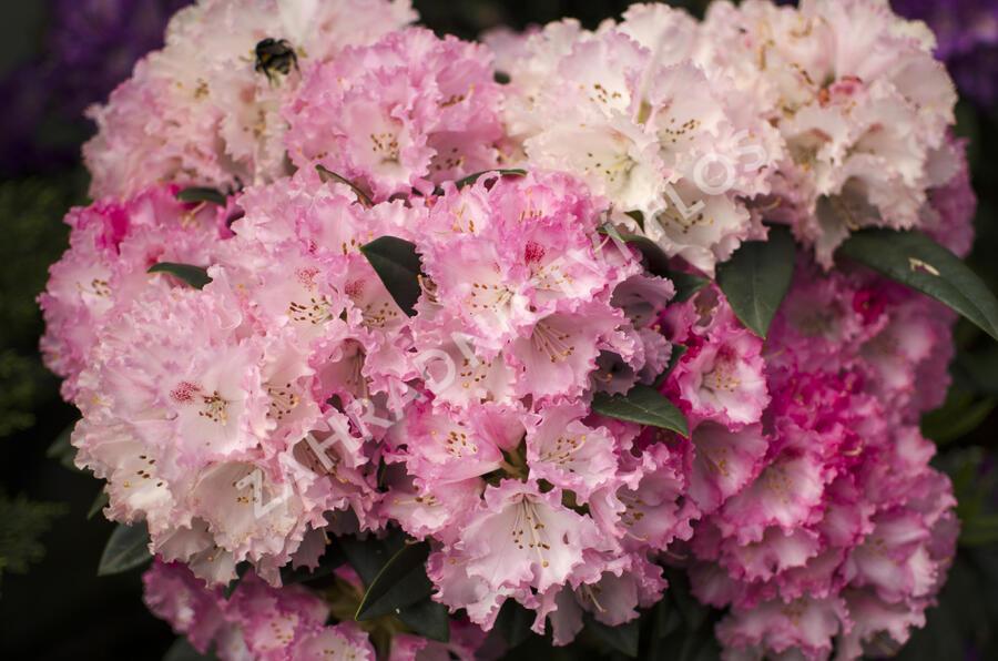 Pěnišník 'Arabelle' - Rhododendron (Y) 'Arabelle'