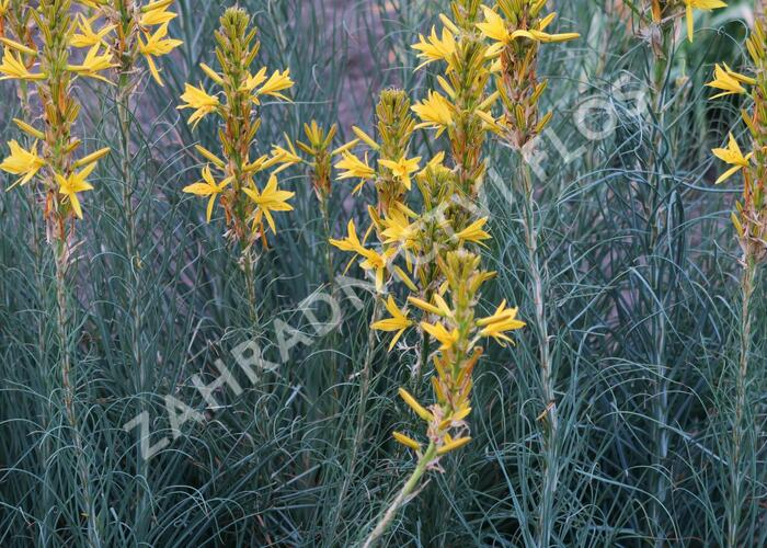 Asfodelka žlutá - Asphodeline lutea