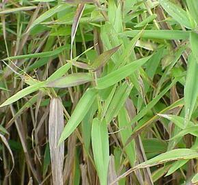 Proso - Panicum clandestinum