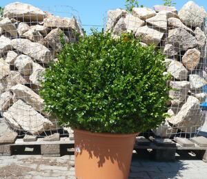 Zimostráz obecný 'Faulkner' - koule - Buxus microphylla 'Faulkner' - koule