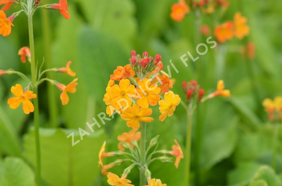 Prvosenka - Primula x bullesiana