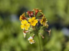 Prvosenka bulleyana - Primula bulleyana