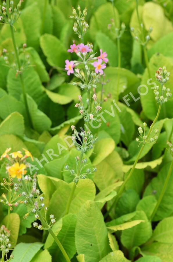 Prvosenka patrovitá - Primula beesiana