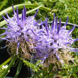 Zvonečník - Phyteuma scheuchzeri