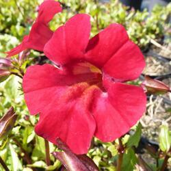 Kejklířka 'Roter Kaiser' - Mimulus cupreus 'Roter Kaiser'