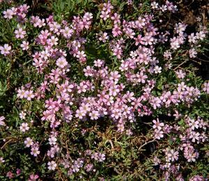 Šater plazivý 'Rosea' - Gypsophila repens 'Rosea'