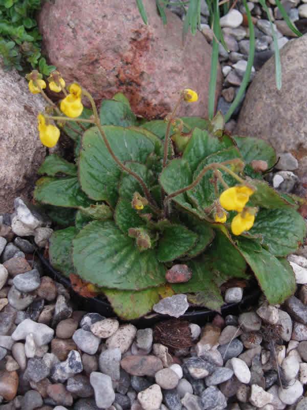 Pantoflíček dvoukvětý 'Goldcap' - Calceolaria biflora 'Goldcap'