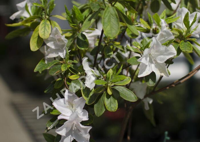 Azalka japonská 'Treasure' - Azalea japonica 'Treasure'