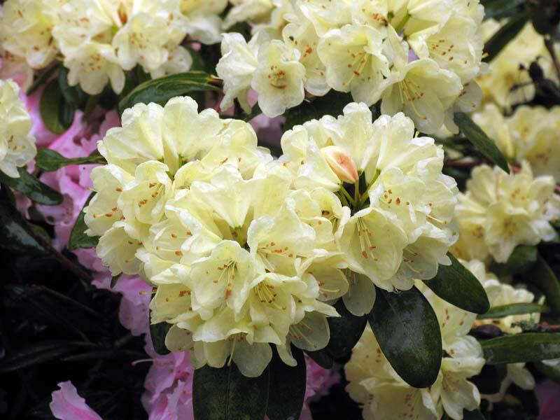 Pěnišník 'Ehrengold' - Rhododendron (T) 'Ehrengold'