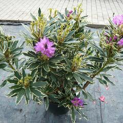 Pěnišník černomořský 'Variegatum' - Rhododendron ponticum 'Variegatum'