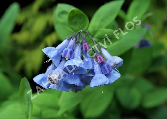 Viržinský modrý zvonek - Mertensia sibirica