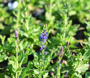 Šalvěj nádherná 'Bordeau Steel Blue' - Salvia superba 'Bordeau Steel Blue'