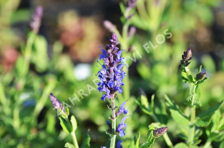 Šalvěj nádherná 'Bordeau Steel Blue' - Salvia superba 'Bordeau Steel Blue'