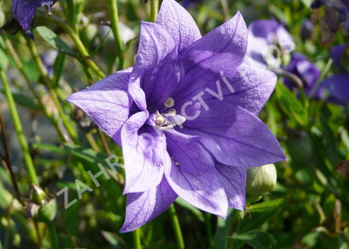 Boubelka 'Hakone Blue' - Platycodon grandiflorus 'Hakone Blue'