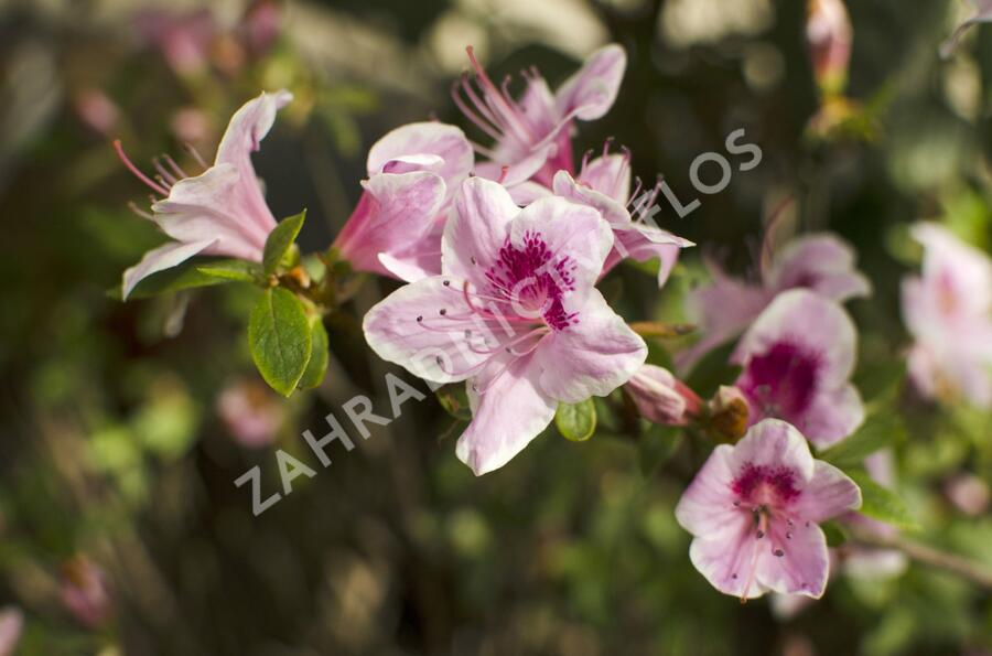 Azalka japonská 'Occhio di Civetta' - Azalea japonica 'Occhio di Civetta'