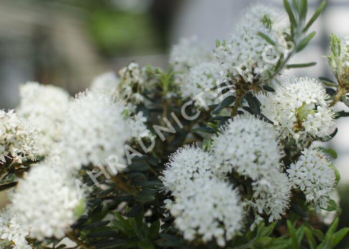 Rojovník grónský 'Compactum' - Ledum groenlandicum 'Compactum'