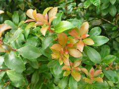 Pieris japonský 'Green Heath' - Pieris japonica 'Green Heath'