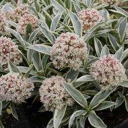 Skimie japonská 'Magic Marlot' - Skimmia japonica 'Magic Marlot'