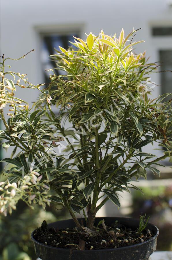 Pieris japonský 'Variegata' - Pieris japonica 'Variegata'