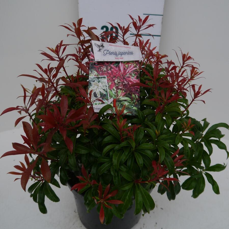 Pieris japonský 'Red Mill' - Pieris japonica 'Red Mill'