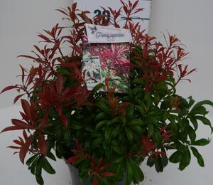 Pieris japonský 'Red Mill' - Pieris japonica 'Red Mill'