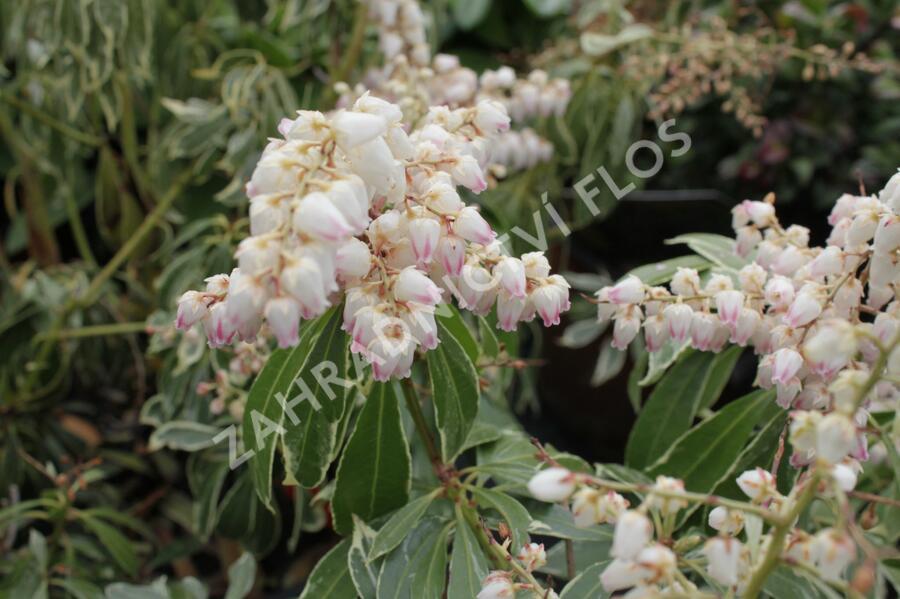Pieris japonský 'Ralto Rose' - Pieris japonica 'Ralto Rose'