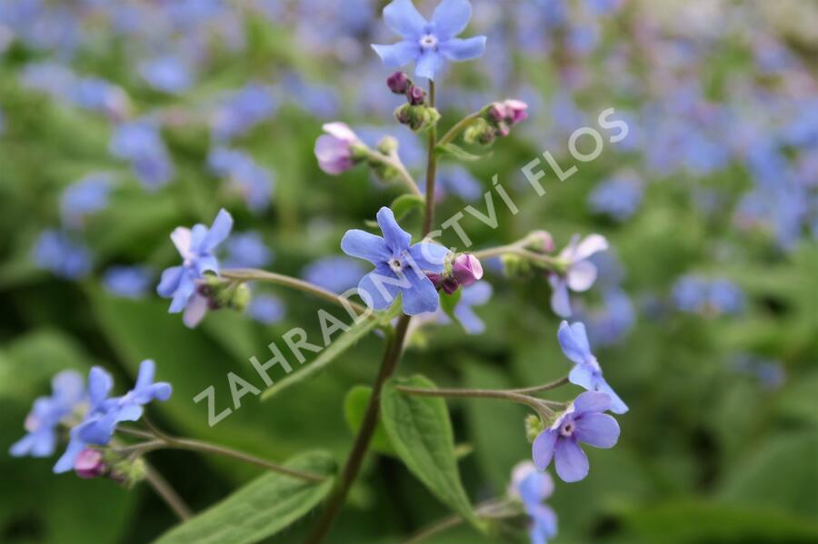 Pomněnkovec velkolistý - Brunnera macrophylla