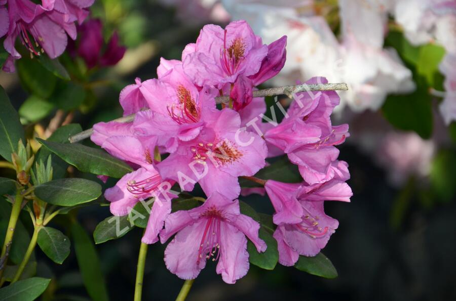 Pěnišník 'Salvini' - Rhododendron (T) 'Salvini'