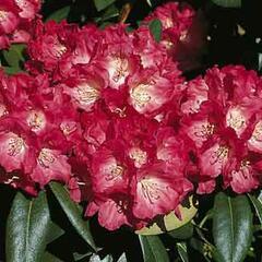 Pěnišník 'Morgenrot' - Rhododendron (Y) 'Morgenrot'