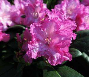 Pěnišník 'Blurettia' - Rhododendron (Y) 'Blurettia'