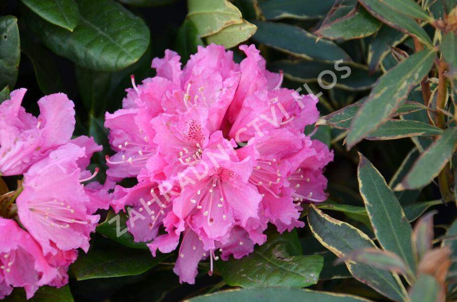 Pěnišník 'Rocket' - Rhododendron (T) 'Rocket'