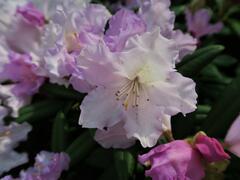 Pěnišník 'Caroline Allbrook' - Rhododendron (Y) 'Caroline Allbrook'