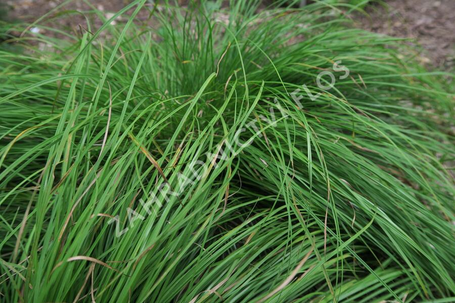 Ostřice horská - Carex montana