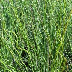 Sítina rozkladitá 'Twisted Arrows' - Juncus effusus f. spiralis 'Twisted Arrows'