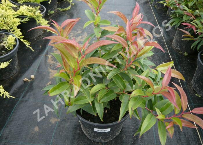 Leukothoe 'Royal Ruby' - Leucothoe keiskei 'Royal Ruby'
