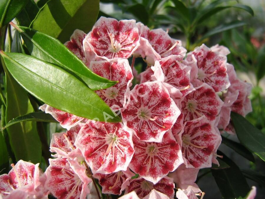 Mamota širokolistá 'Pinwheel' - Kalmia latifolia 'Pinwheel'