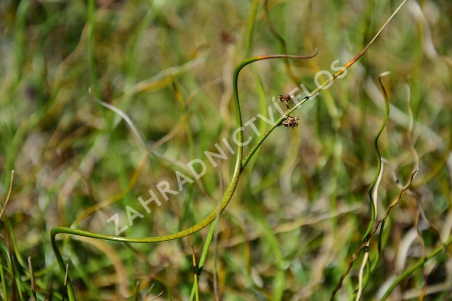 Sítina rozkladitá 'Twister' - Juncus effusus f. spiralis 'Twister'