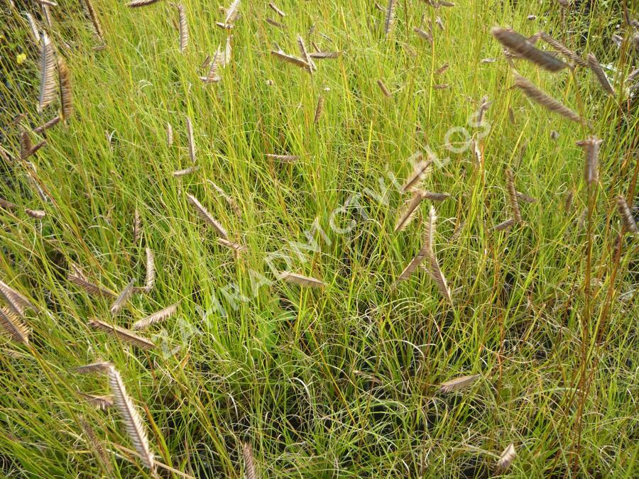 Moskytovka, butelua něžná - Bouteloua gracilis