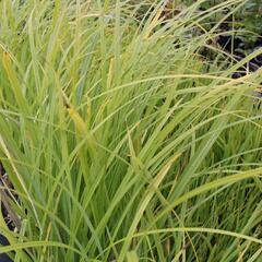 Ostřice pobřežní - Carex riparia