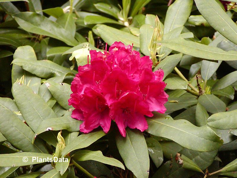Pěnišník 'Vilem Heckel' - Rhododendron 'Vilem Heckel'