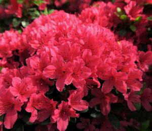 Azalka japonská 'Geisha Red' - Azalea japonica 'Geisha Red'