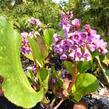 Bergénie srdčitá 'Rotblum' - Bergenia cordifolia 'Rotblum'