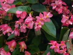 Begónie 'Dragon Pink' - Begonia hybrida 'Dragon Pink'