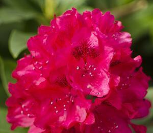 Pěnišník 'Van Verden Poelman' - Rhododendron 'Van Verden Poelman'