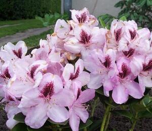 Pěnišník 'Lugano' - Rhododendron 'Lugano'