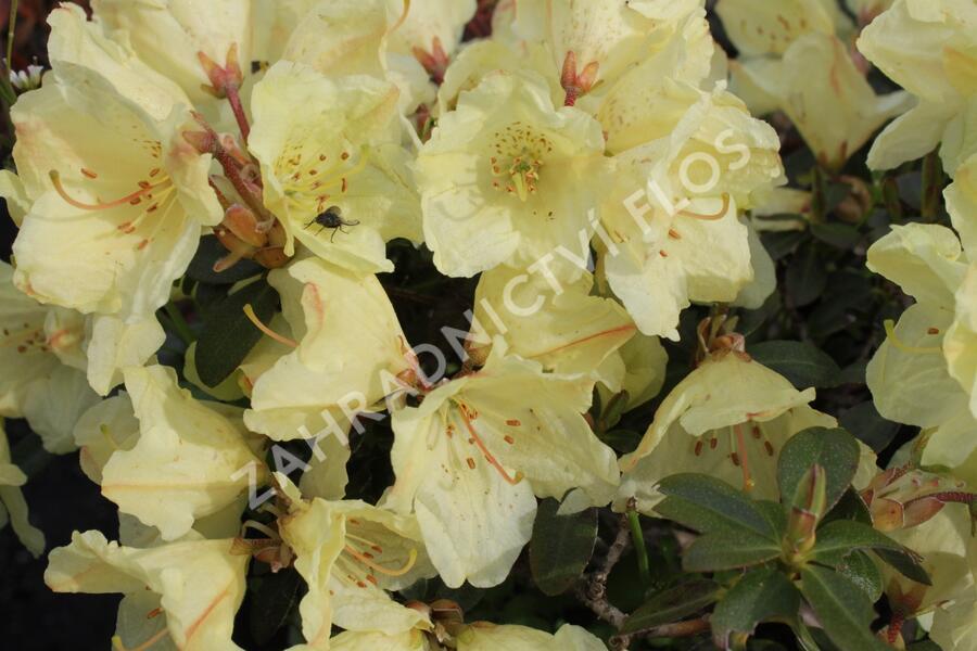 Pěnišník obtížený 'Wren' - Rhododendron impeditum 'Wren'